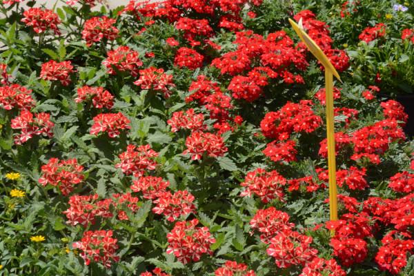 Naša srca ispuni srića kad su u Filipjakovu dani cvića